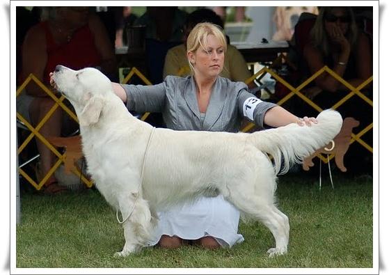 Kennel club golden retriever puppies scotland